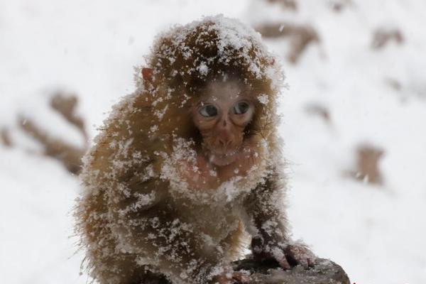风雪里的野生猕猴:猴宝宝依偎妈妈怀里御寒