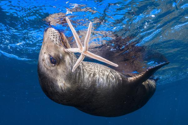 兴奋海狮叼海星玩起杂耍 实力演绎开心到飞