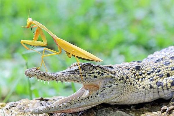 """印尼鳄鱼被螳螂踩脑袋爬行 吓成""""呆若木鸡"""""""