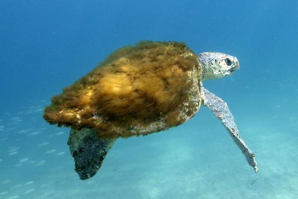 毛茸茸的海龟:外壳覆盖海藻海草似披大衣
