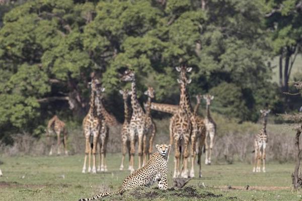 肯尼亚猎豹不顾成群长颈鹿好奇围观 直接躺倒休息
