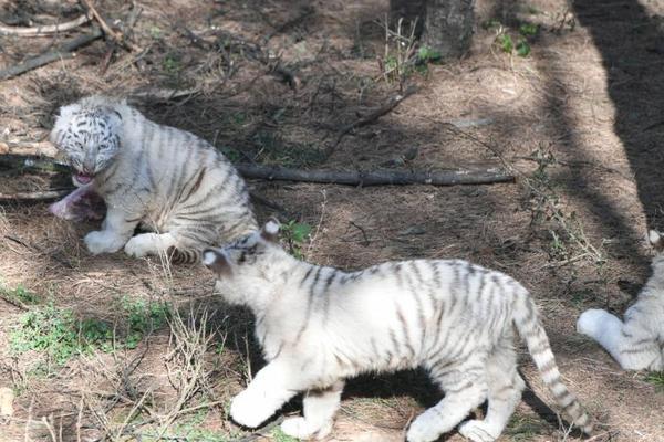 云南6胞胎小白虎首次与游客见面