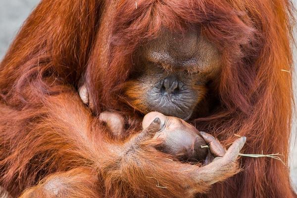 美动物园红毛猩猩第五次当妈 抱娃狂亲满满宠溺