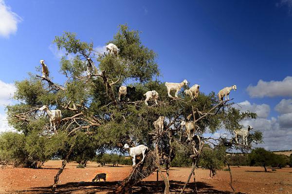 摩洛哥坚果树上站满14只山羊 吃果实吐种子帮助树繁殖