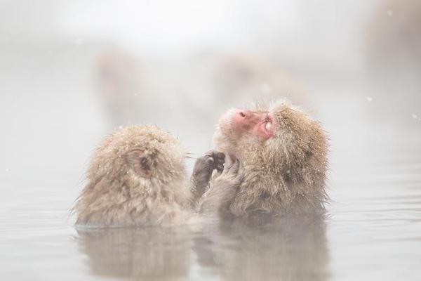 日本猕猴悠然自得泡露天温泉 表情惬意