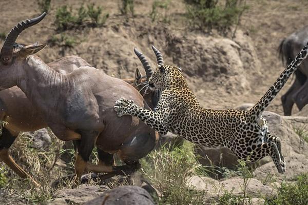 肯尼亚花豹蛰伏捕食牛羚斑马均以失败告终