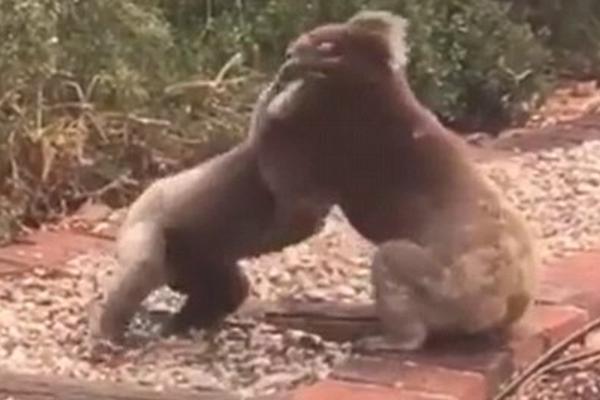 就算打架也很萌!两只雄性考拉为获雌性芳心展开搏斗