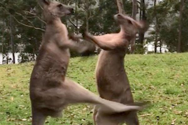 澳袋鼠与小伙伴草地摔跤 飞踹对方你走光了啊喂!