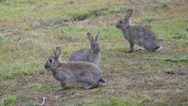 据保守估计,新西兰每年因为兔子造成的生产损失达到5000万新西兰元