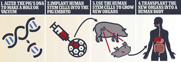 研究人员此前已经开发出了人猪嵌合体,但还无法利用该技术培育人体器官