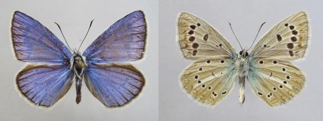 俄罗斯发现蝴蝶新物种:具有46条染色体