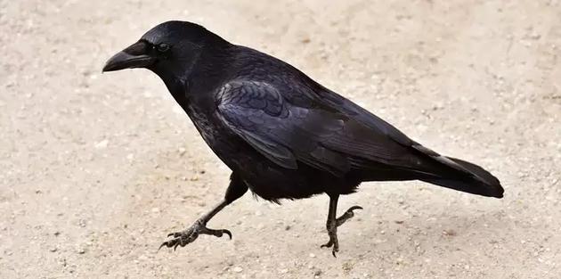 一只跳来跳去的乌鸦,或许不是在寻找烟蒂