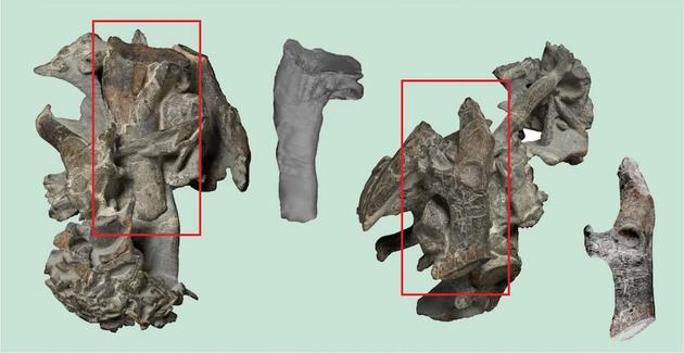 红色方块显示的是比氏库米企鹅的肱骨和鸟喙骨,旁边是分离出来的图像