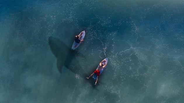 科学家指出近年来我们看到越来越多鲨鱼的两个主要原因:海水升温促进鲨鱼向北迁移;夏季较长,使人们更喜欢在海滩嬉水消夏。