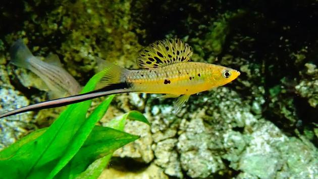 一条雄性剑尾鱼属鱼类,与研究中所用的物种是近亲