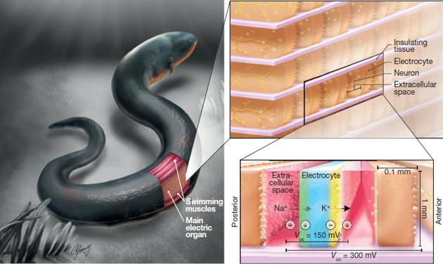 电鳗的所有放电体可以同时翻转,它们的微小电压加起来就能产生强大的电能。