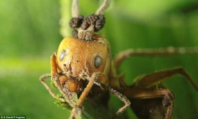 不同种类的虫草菌喜欢寻找不同的宿主。但它们通常会寄生在昆虫身上,迫使它们前往植物顶端。