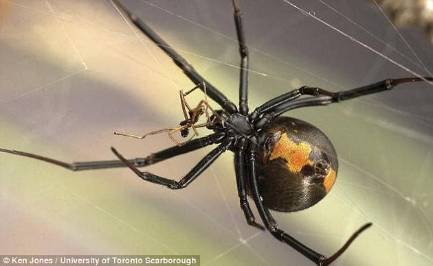 """一项对红背蜘蛛(学名:Latrodectus hasselti)的研究发现,雄性红背蜘蛛经常寻找较为年轻并且""""未成熟""""的雌蛛交配,因为后者可能还未学会如何吃掉交配对象。"""