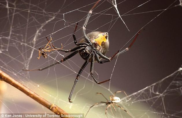 该研究发现,对于在未成熟状态下交配过的雌蛛,它们在未来不会再释放出吸引雄蛛的信号。