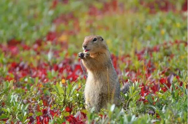 """冬眠期间,北极地松鼠的体温可以降到大约摄氏零下2.8摄氏度。这种松鼠利用一种被称为""""过冷""""的方法来避免血液冻结。"""