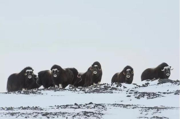 俄罗斯弗兰格尔岛上的麝牛。这座北冰洋岛屿位于东西伯利亚海和楚科奇海之间。