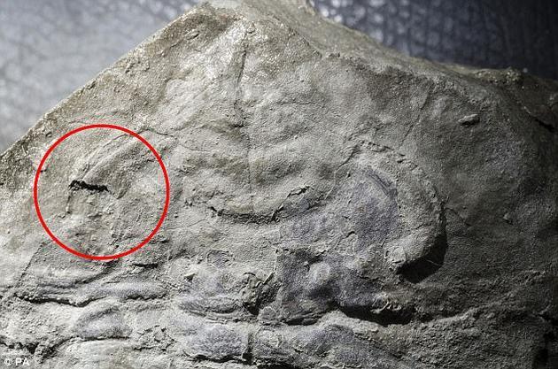 科学家在一枚距今约5.3亿年的化石上发现了最古老的眼睛痕迹。该化石属于一种早已灭绝的三叶虫,其古老的眼睛形态在今天的许多动物身上还能见到