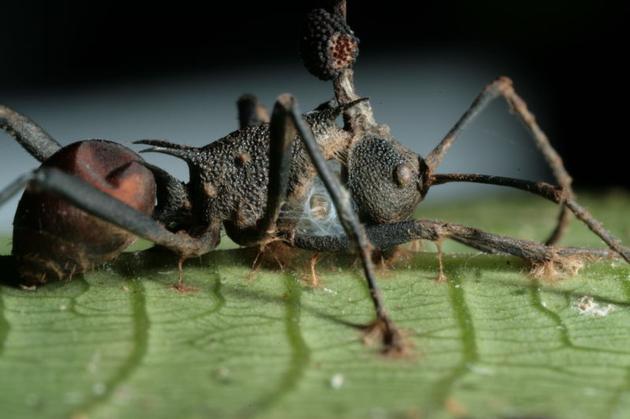 图为一只死去的、头部被真菌孢子占据的蚂蚁。