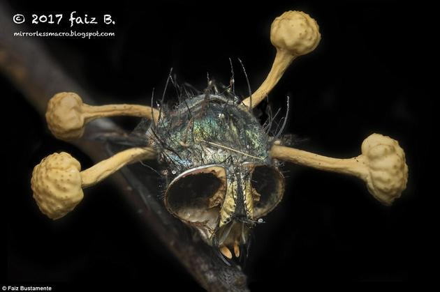 """名摄影师在新加坡森林中拍下了一张噩梦般恐怖的照片:一只被致命寄生真菌感染后变成""""僵尸""""的苍蝇脑袋。这只苍蝇死去已久,两只眼睛都已不见踪影,只有丛丛菌柄从它的头部冒出。"""