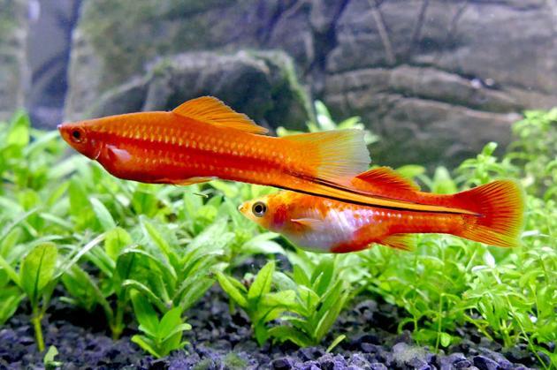 雄性和雌性剑尾鱼