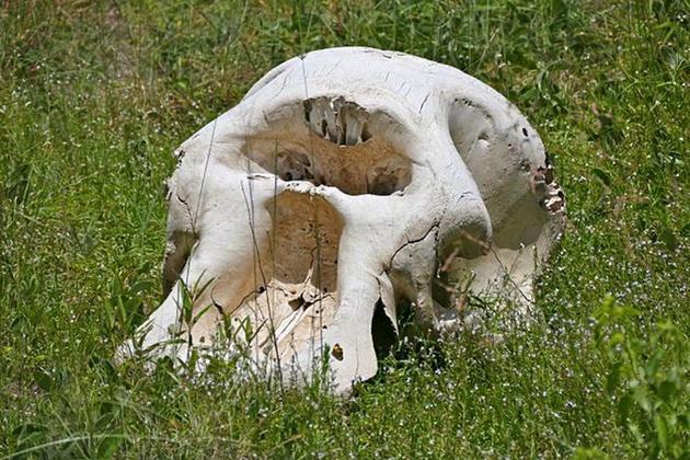 图中是南非境内发现的大象头骨。