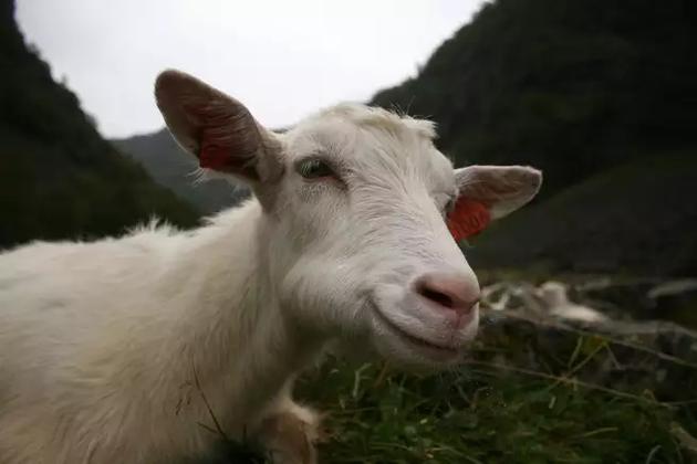 野生山羊和转基因山羊在外形上没有区别。