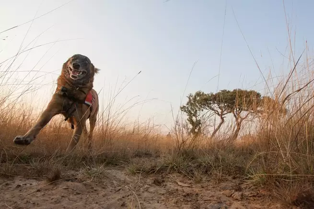 """这只名为""""丕平""""(Pepin)的狗正在塞伦盖蒂执行任务"""