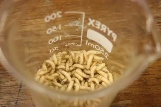 蛆虫可以用来清理伤口中的死组织