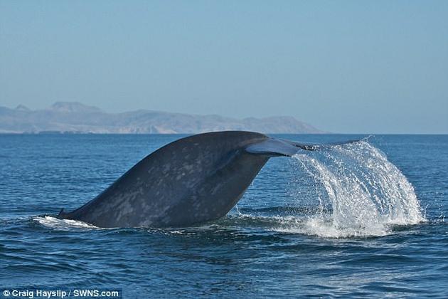在加利福尼亚州近海,一头蓝鲸潜入水中。