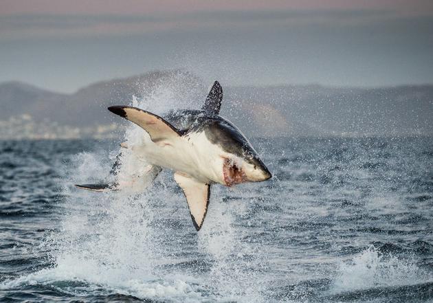 跃出水面捕食的大白鲨