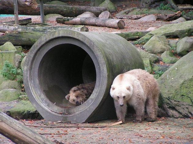 北极冰层缩小将迫使北极熊在陆地上生活的时间更长,对于灰熊而言,气候转暖将使它们缩短冬眠时间,同时,它们也开始喜欢北部气候。