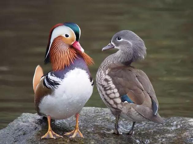 据目前所知,包括鸳鸯在内的大部分鸭类的性爱充满了暴力和强迫。