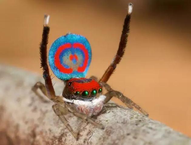在求偶时,雄性孔雀蜘蛛会用后腿反复遮掩腹部,就像孔雀开屏一样。
