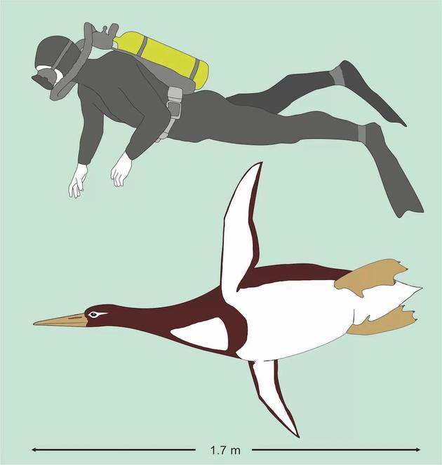 这种巨型企鹅站立高度跟人类差不多