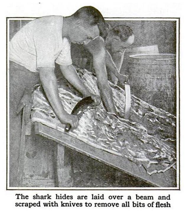 鲨鱼皮革,1917年11月