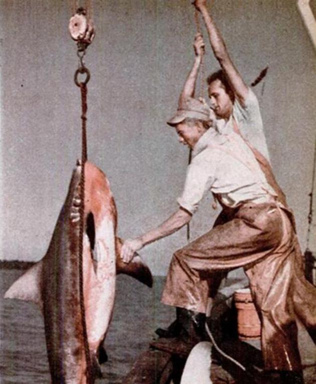 鲨鱼——海洋中的水牛,1943年9月