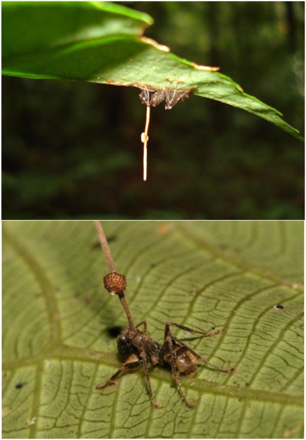 图为一只真菌感染晚期的蚂蚁。