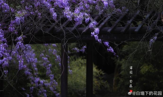 留园 · 紫藤