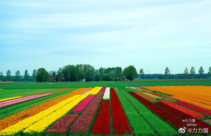 郁金香王国荷兰