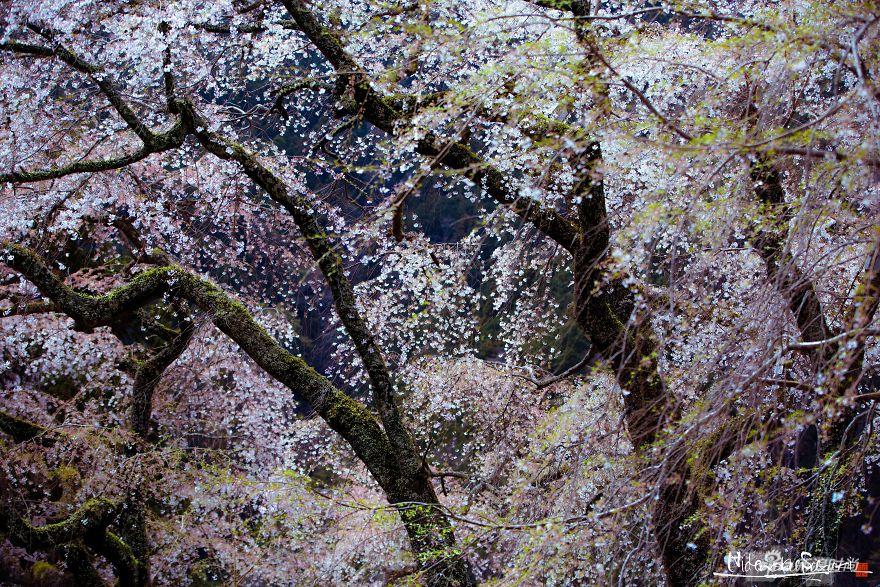 最古老的树_欧洲最古老的树 1230岁的 伊塔卢斯 取代1077岁的波斯尼亚松