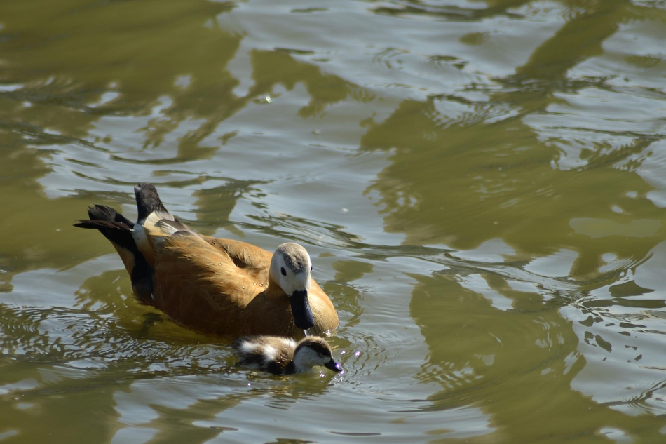 国家二级保护动物赤麻鸭,落户天塔湖风景区