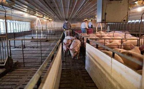 生猪饲养场。