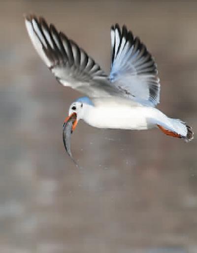 红嘴鸥在天津市狮子林桥附近的海河水面捕食。新华社记者 李 然摄