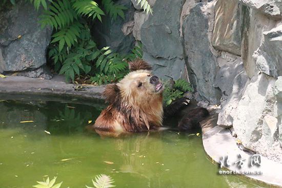 棕熊边泡澡边乘凉
