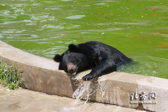 黑熊在水池戏水